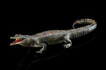 Freshwater crocodile (Crocodylus johnsoni), Curiosities