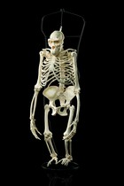 Skeleton of a gorilla (Gorilla), Curiosities