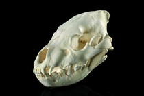Skull of a hyena (Hyaenidae), Curiosities