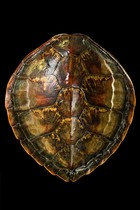 Turtle shell, Curiosities