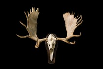 Big moose antlers (Alces alces), Curiosities