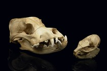 Two skulls of dogs, Curiosities