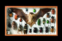 Showcase with bat and insects, Curiosities
